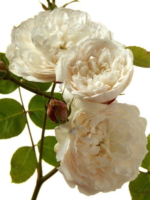 薔薇に求められるもう一つの条件。_e0044929_1153031.jpg