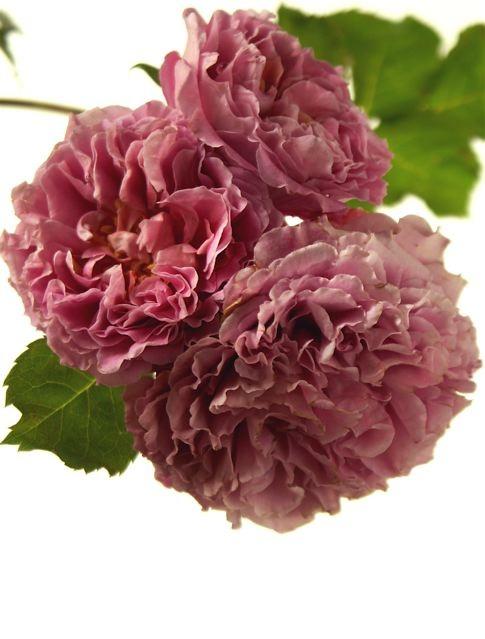 薔薇に求められるもう一つの条件。_e0044929_11532630.jpg