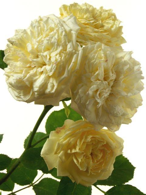 薔薇に求められるもう一つの条件。_e0044929_11535867.jpg