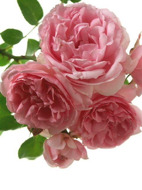 薔薇に求められるもう一つの条件。_e0044929_11542366.jpg