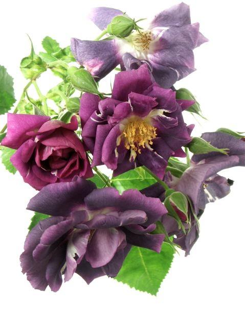 薔薇に求められるもう一つの条件。_e0044929_11545711.jpg
