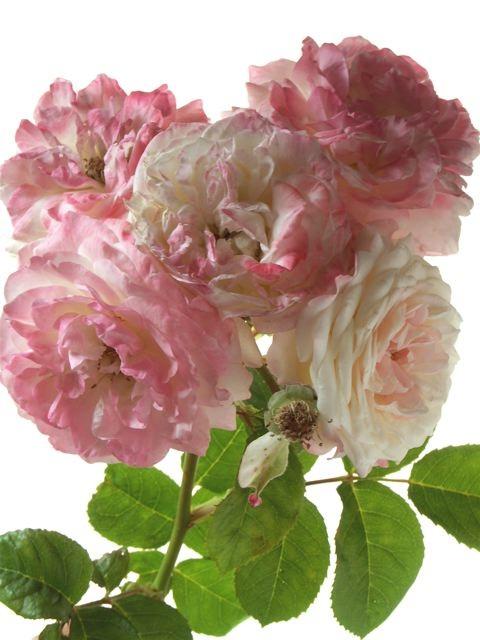 薔薇に求められるもう一つの条件。_e0044929_11552468.jpg