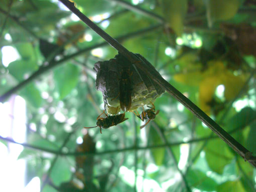 蜂の巣作り観察3ヵ月_e0104695_2213498.jpg