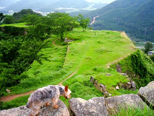 本丸の一段高い石垣には天守閣があったようです。そこへ登ると更に景色は雄大になり・・・・。最上部の石垣に同化してちょっと見た目には解らない状態になっているラッキー。その向こう側には城の敷地がずーっと見渡せ、更に敷地の向こうには山間の濃い緑が広がっています。