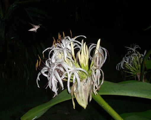 花の芳香に誘われる夜の蝶!?_e0104695_22241440.jpg