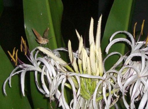 花の芳香に誘われる夜の蝶!?_e0104695_22251676.jpg