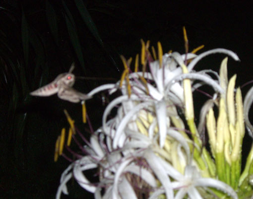 花の芳香に誘われる夜の蝶!?_e0104695_2226911.jpg