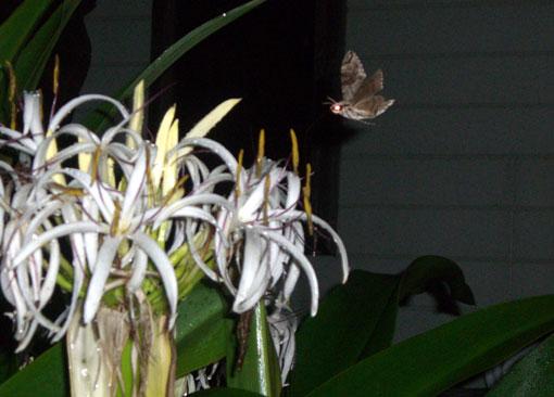花の芳香に誘われる夜の蝶!?_e0104695_22285050.jpg