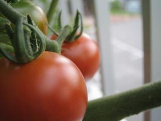 ベランダ菜園_b0117564_19511510.jpg