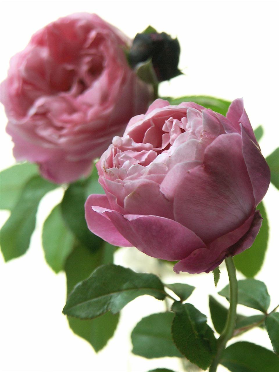 薔薇を捧げる。_e0044929_1839476.jpg
