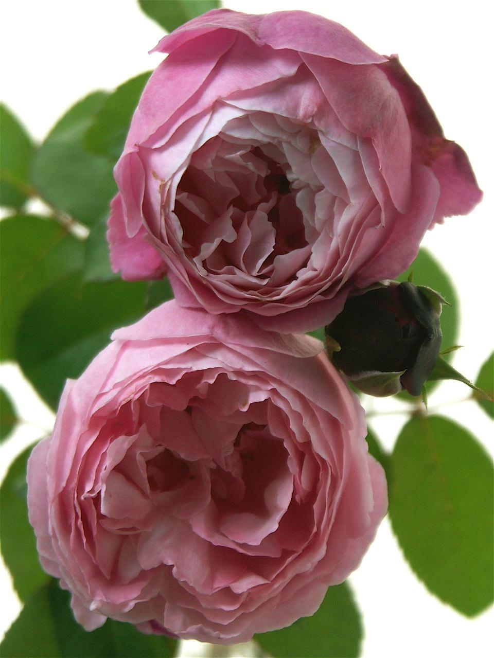 薔薇を捧げる。_e0044929_18401314.jpg