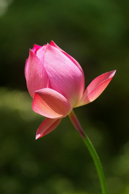紅色の蓮の花_d0043136_2023031.jpg