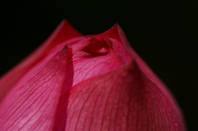 紅色の蓮の花_d0043136_20232118.jpg