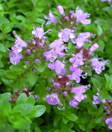 7月22日 赤城自然園 セゾンガーデンのハーブの花_a0001354_21494988.jpg