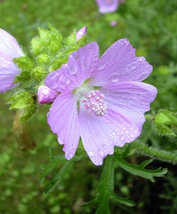 7月22日 赤城自然園 セゾンガーデンのハーブの花_a0001354_21503384.jpg