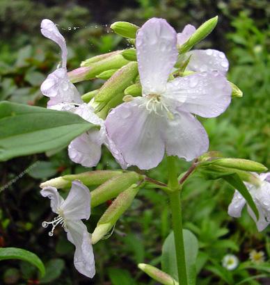 7月22日 赤城自然園 セゾンガーデンのハーブの花_a0001354_2150563.jpg