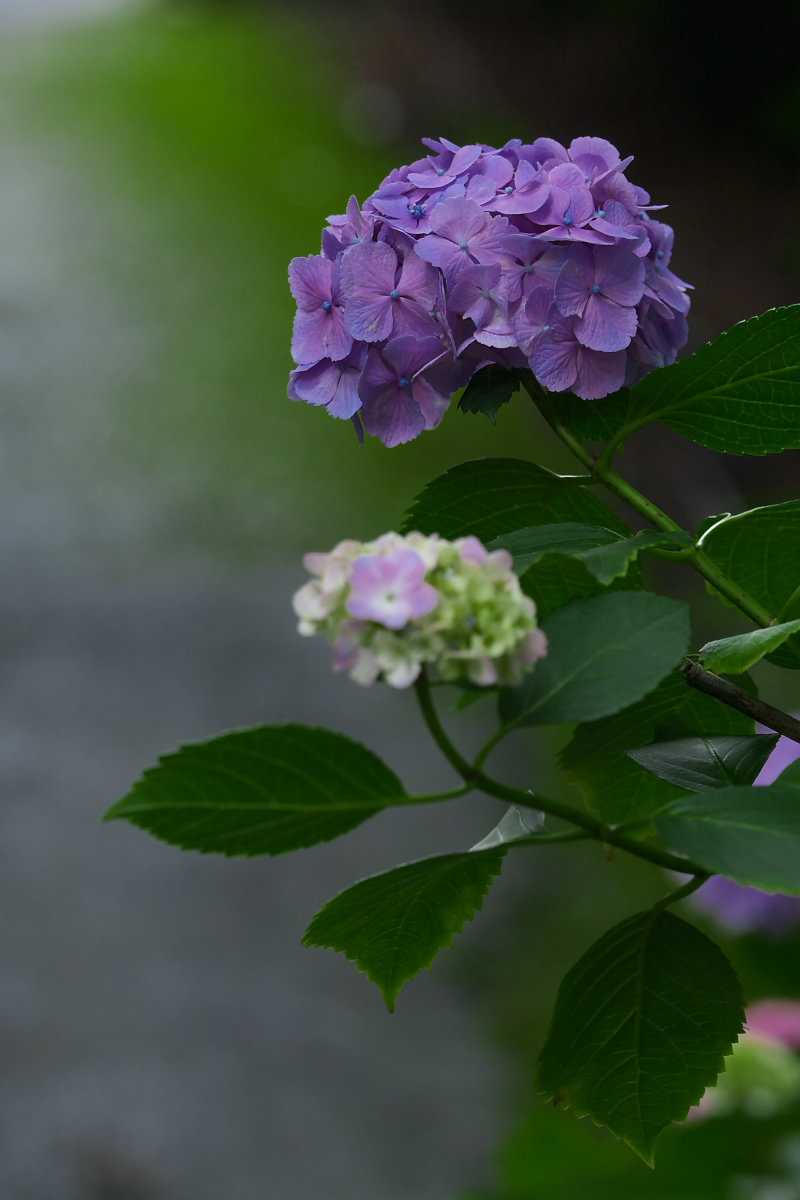 京都 吉峯寺 <紫陽花> 1_f0021869_14591642.jpg