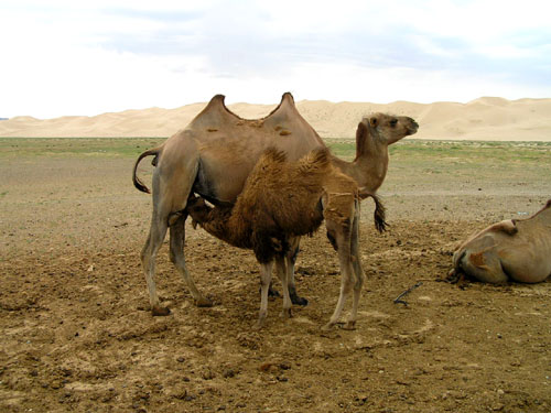 モンゴル ゴビ砂漠4_e0048413_23355215.jpg