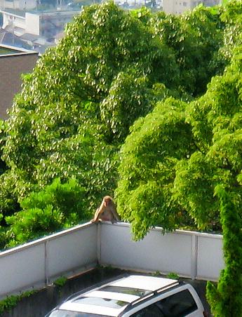 駐車場のコーナーの塀に大また開きで座っている猿。後ろの緑の木々をバックに、一見のんびり優雅な光景?