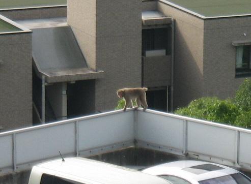 悠々と駐車場の塀の上を歩いている猿。顔は駐車場の真ん中にいるおじさんに向けられています。