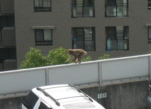 塀の上を突然走り出した猿。