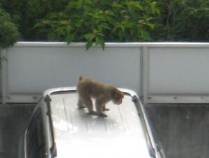 シルバーの車の屋根にひらりと飛び乗って、おじさんを逆に威嚇する猿。