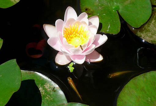 蓮の花が咲く_e0054299_11382328.jpg