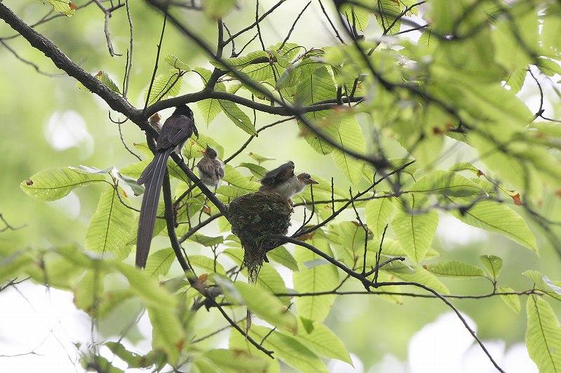 サンコウチョウの巣立ち_f0117296_1025660.jpg
