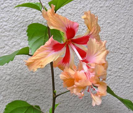 7月29日 ハイビスカス オレンジ・フラミンゴ_a0001354_20332665.jpg