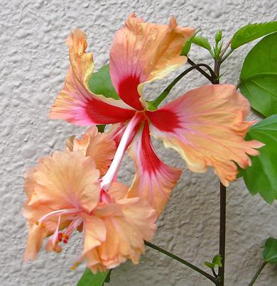 7月29日 ハイビスカス オレンジ・フラミンゴ_a0001354_2033610.jpg