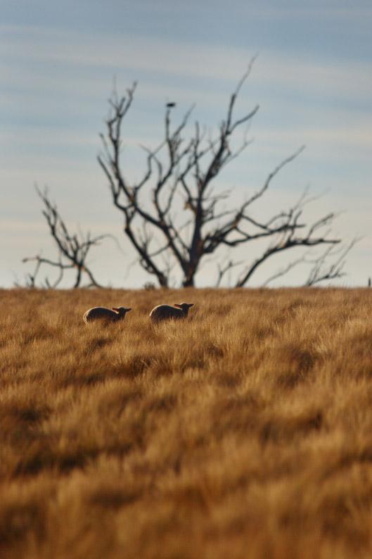 羊をめぐる冒険_f0137354_811093.jpg
