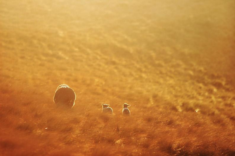 羊をめぐる冒険_f0137354_8115688.jpg
