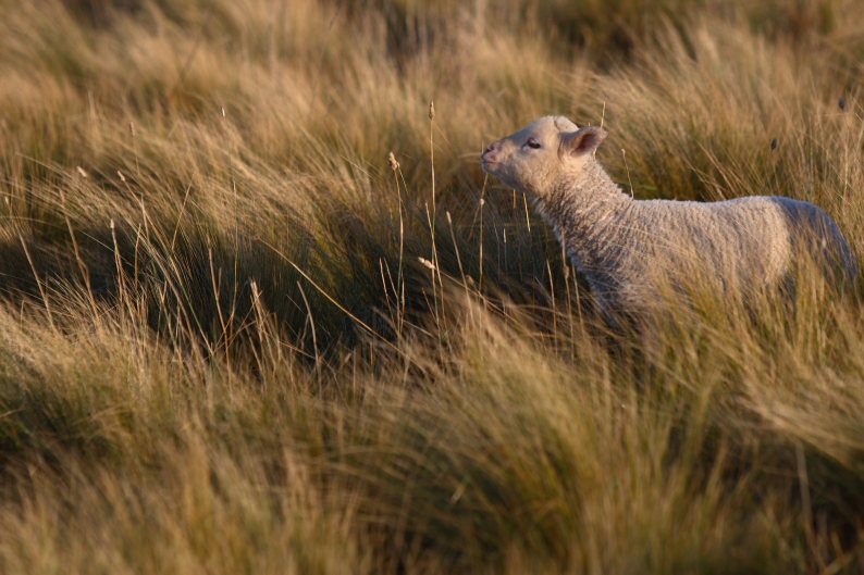 羊をめぐる冒険_f0137354_8121579.jpg