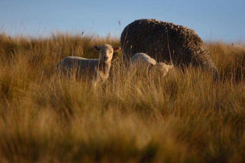 羊をめぐる冒険_f0137354_8122974.jpg