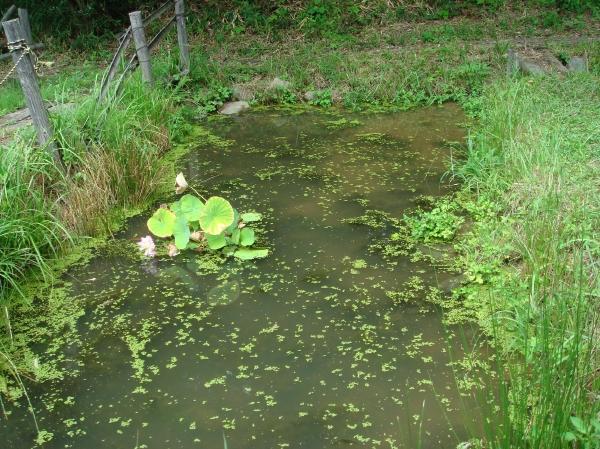 ビオトープの浮き草掃除_c0108460_1651685.jpg