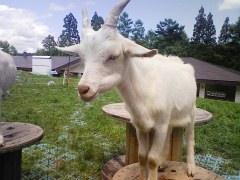 最近TVでも大活躍白馬山麓の上土井さんの山羊のチーズ。今年の春に生まれた仔山羊たちを見に行きました_f0141962_16274962.jpg