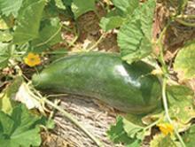 夏野菜たち_f0000163_1435150.jpg