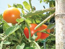 夏野菜たち_f0000163_14351864.jpg