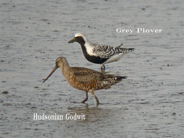 アメリカオグロシギ Hudsonian Godwit /  Limosa haemastica_c0071489_1115945.jpg