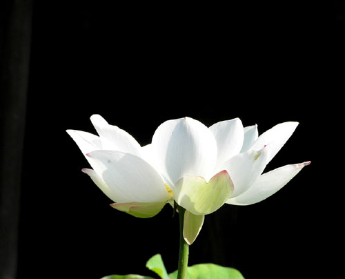 立本寺のハス_e0048413_20424260.jpg
