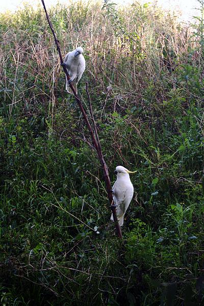 オーストラリアの鳥・コッカトゥー_d0081851_1018024.jpg