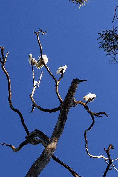 オーストラリアの鳥・コッカトゥー_d0081851_1020126.jpg