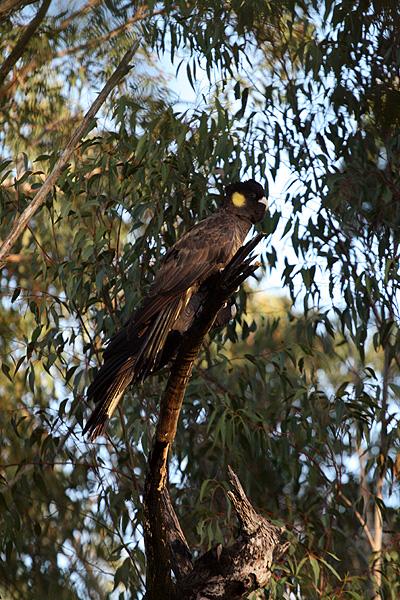 オーストラリアの鳥・コッカトゥー_d0081851_10271580.jpg