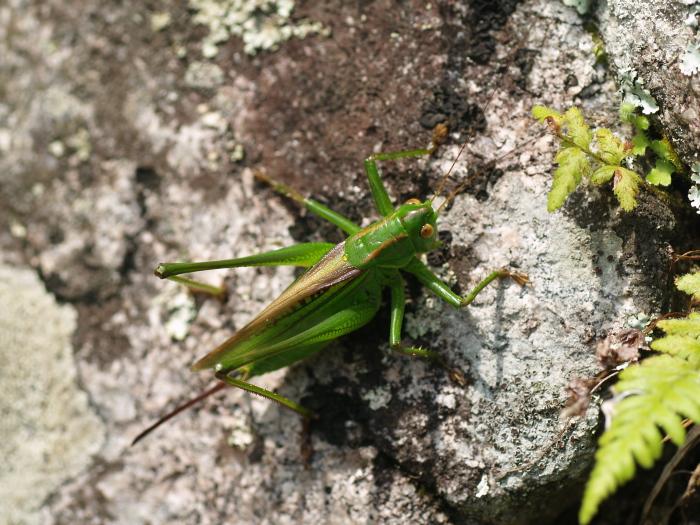 ニシキリギリスの雌♀?_c0116915_2236213.jpg