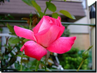 8月8日ピンクのバラ