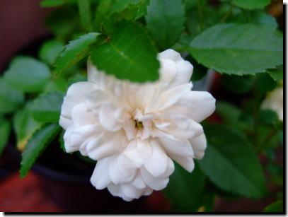 8月8日白いバラ