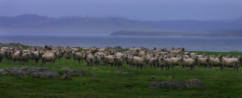 タスマニアの羊を追いかけて_f0137354_1745917.jpg