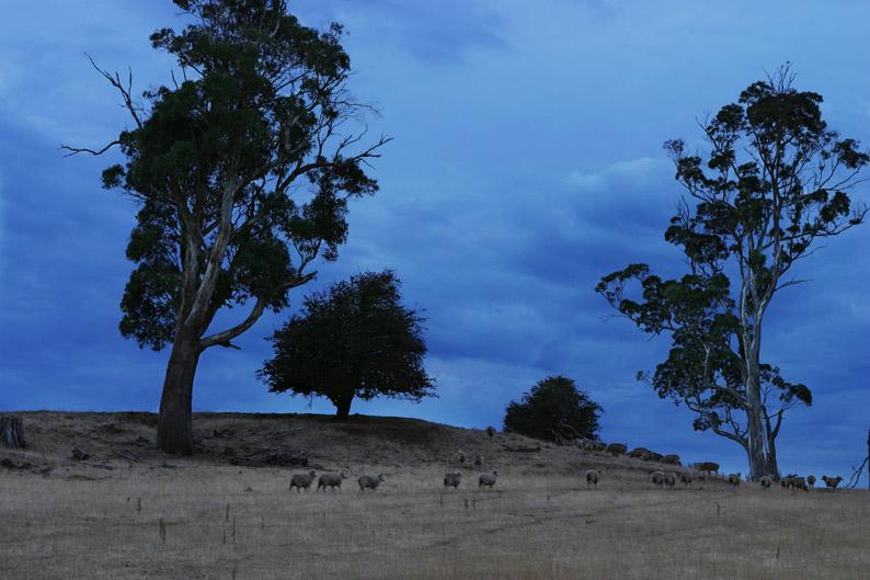 タスマニアの羊を追いかけて_f0137354_177532.jpg