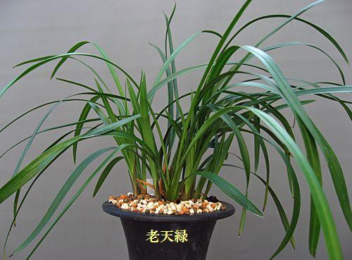◆東洋蘭・中国春蘭「老天緑、」,、。           No.68_d0103457_0114152.jpg