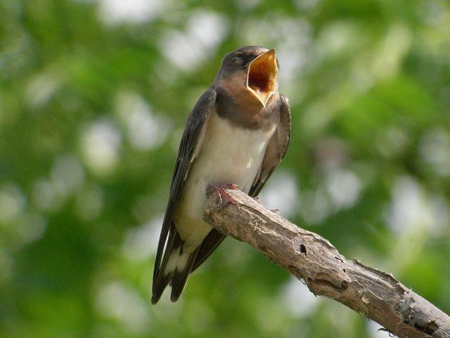 ★またカイツブリがアオダイショウに・・・ 週末の鳥類園情報(2007.8.4~8.5,7)_e0046474_121379.jpg